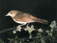 oiseaux-du-mercantour-patagon_071