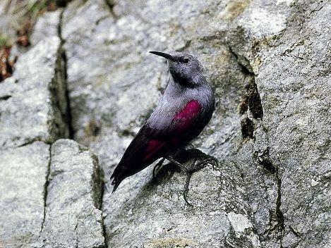 oiseaux-du-mercantour-patagon_078