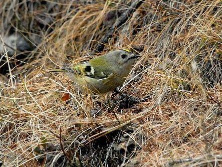 oiseaux-du-mercantour-patagon_069