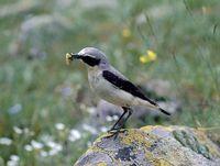 oiseaux-du-mercantour-patagon_079