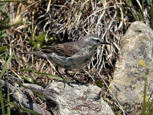 oiseaux-du-mercantour-patagon_067