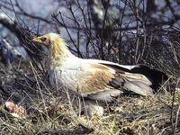 oiseaux-du-mercantour-patagon_082