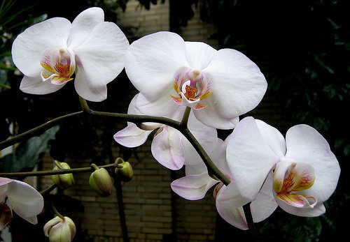 orchidee (14)