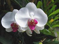 orchidee (18)