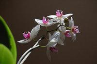 orchidee (24)