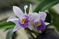 orchidee (25)