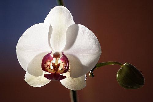 orchidee (34)