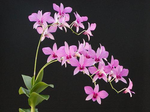 orchidee (36)