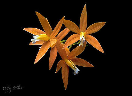 orchidee (39)