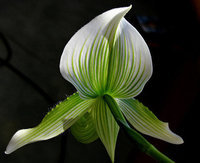 orchidee (40)