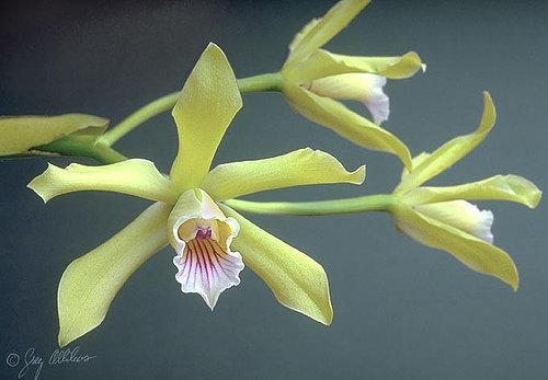 orchidee (41)