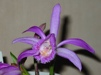 orchidee (42)