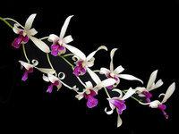 orchidee (47)