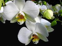 orchidee (19)
