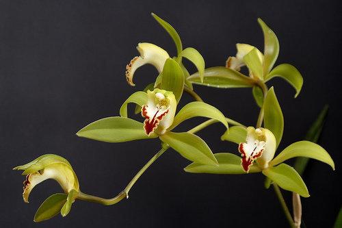 orchidee (23)