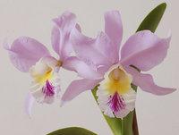 orchidee (43)