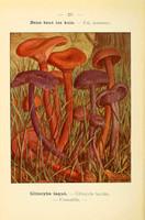 champignons (32)