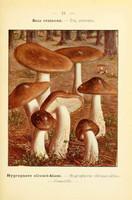 champignons (39)