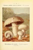 champignons (51)