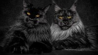 Maine_coon (12)