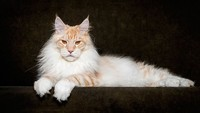 Maine_coon (16)