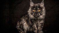 Maine_coon (14)