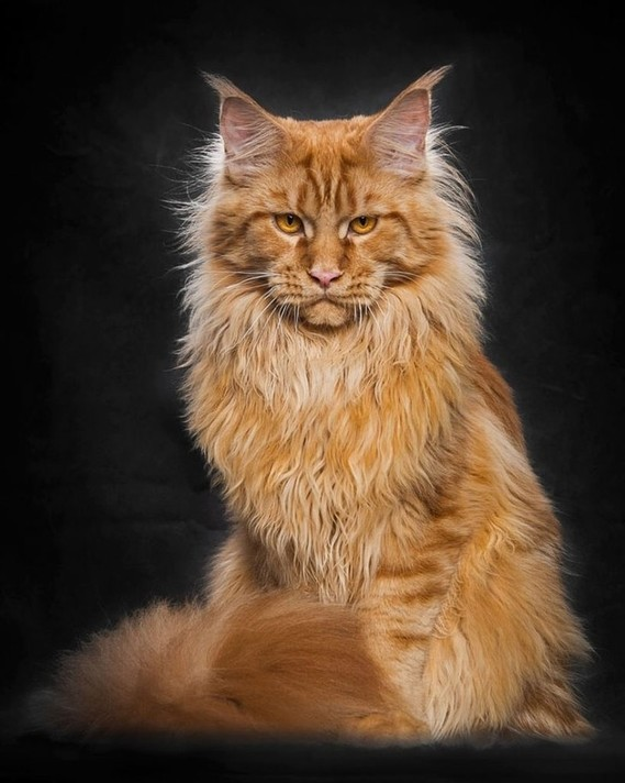 Maine_coon (15)