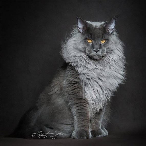 Maine_coon (20)