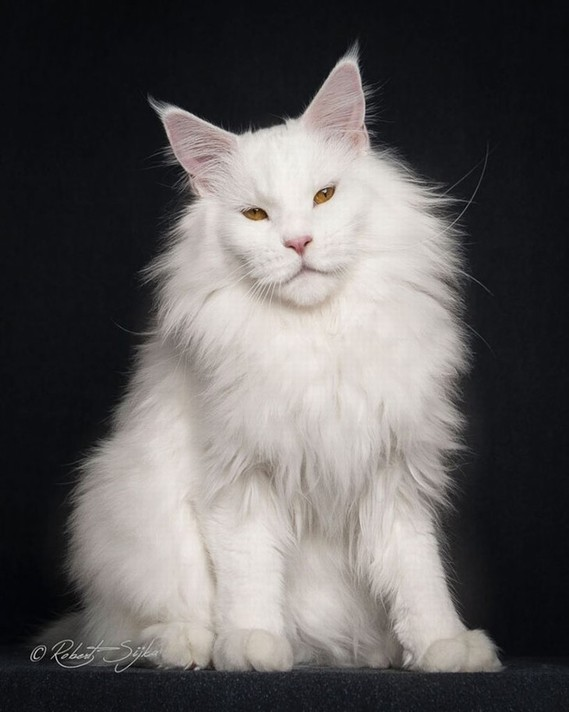 Maine_coon (19)