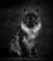 Maine_coon (11)