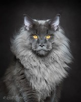 Maine_coon (17)