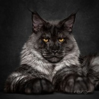 Maine_coon (18)