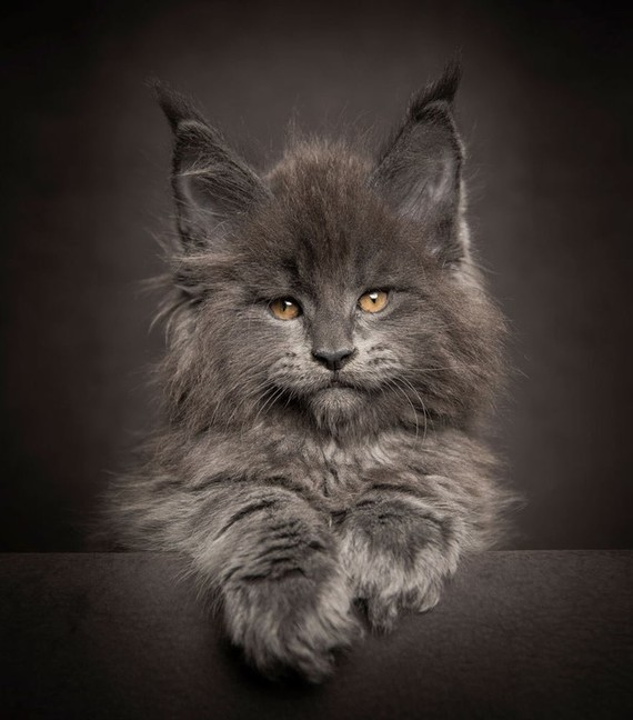 Maine_coon (13)