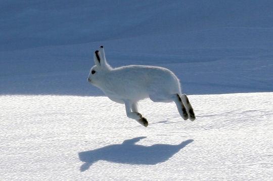 Saut lievre arctique 270883 au pole nord un coin de - Animaux pole nord ...