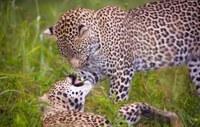 5709036-couple-de-leopards-panthera-pardus-jouer-avec-eux-dans-la-savane-nature-reserve-en-afrique-d