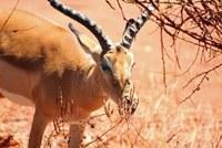 12295977-gazelle-dans-la-savane-du-parc-de-tsavo-est-kenya