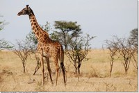 Kenya-animaux-girafe-savane-arbres-ag
