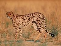 real_guepard_dans_le_bush