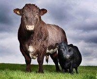 vache 84cm