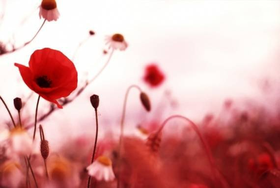 photos-coquelicots-nature-coquelicots-img