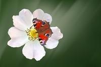 Papillon paon sur son églantine