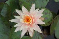 fleur de Tramontanne