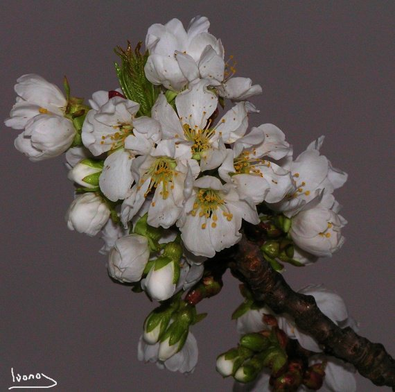 (C)Ivano Ghirardini-P3270006-cerisiers en fleurs-27mars2011-04600 Saint auban