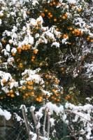 Oranger sous la neige