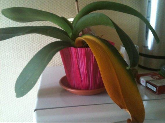 orchidee qui jaunit