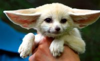 Baby-Fennec-fox.jpg.php
