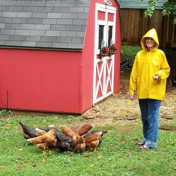 Nourrissage des poules.
