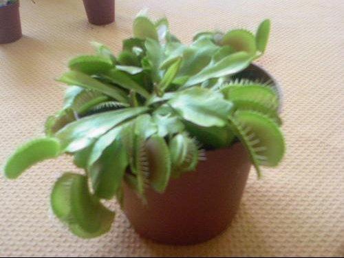 quels sont les soins a donner a un bebe plante carnivore jardinage forum vie pratique. Black Bedroom Furniture Sets. Home Design Ideas
