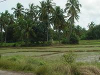 Sri Lanka - risières et palmiers