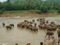 Sri Lanka - bains des éléphants orphelins